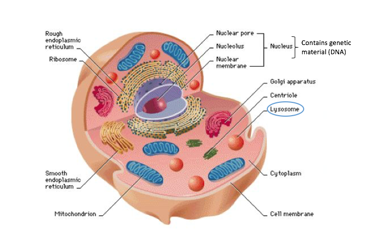 Ntsad lysosomal storage disorders lysosomes are the cells recycling center they contain digestive enzymes responsible for breaking down debris in the cell into reusable parts ccuart Gallery